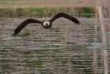 EagleBarnabySlough053115.jpg