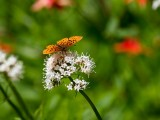 ButterflySaukMt061915.jpg