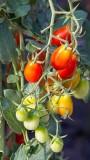 TomatoesBlueHeronFarm072815_1.jpg