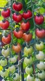 TomatoesBlueHeronFarm072815_2.jpg