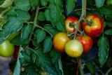 TomatoesBlueHeronFarm072815_3.jpg