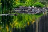 BeaverPackingWillow052415.jpg
