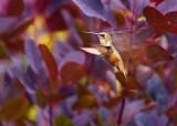 HummingbirdBakerLkLodge070116.jpg