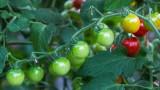 CherryTomatoesBluHeronFrm081416_2.jpg