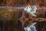 SwanBarnabySlough020517.jpg