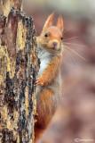 Red sqirrel
