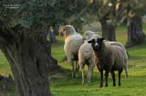 Olive trees and sheeps in El Sierro de Almaraz
