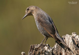 Blue Rock-thrush
