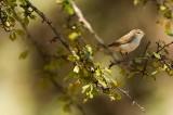 Bonelli's Warbler