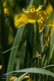 Iris pseudoaucarus