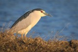 Night-Heron