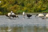 Glossy ibis & Sacred Ibis & Little Egret