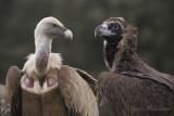 Black Vulture & Griffon Vulture