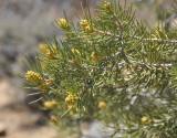 Little Yellow Pine Cones