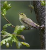 Wood Warbler  / Fluiter / Phylloscopus sibilatrix