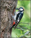 Great Spotted Woodpecker / Grote Bonte Specht / Dendrocopos major