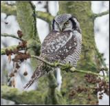 Northern Hawk-Owl / Surnia ulula / Sperweruil