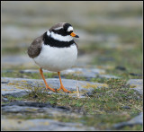 Ringed Plover / Bontbekplevier / Charadrius hiaticulata
