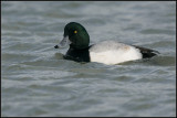 Greater Scaup / Topper / Aythyia marila