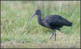 Glossy Ibis / Zwarte Ibis / Plegadis falcinellus