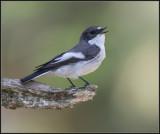 Pied Flycatcher / Bonte Vliegenvanger / Ficedula hypoleuca