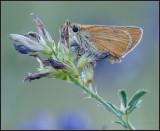 Small Skipper / Geelsprietdikkopje / Thymelicus sylvestris