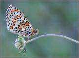Glanville Fritillary / Veldparelmoervlinder / Melitaea cinxia