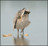 Blue Heron / Blauwe Reiger / Aredea cinerea