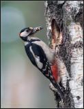 Great Spotted Woodpecker / Grote Bonte Specht