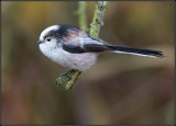 Long-tailed tit / Staartmees