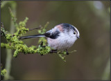 Long-tailed tit / Staartmees / Aegithalos caudatus