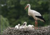 Stork / Ooievaar / Ciconia ciconia