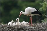 Stork / Ooievaar