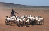 Gabbra woman and goats, Northern Frontier District, Kenya