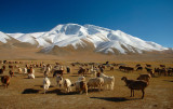 Muztagh Ata and Sheep, Karakoram Highwa, Xinjiang, China