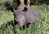 blind rhino calf