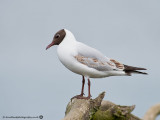 0085 Black-headed Gull LL 310513.jpg