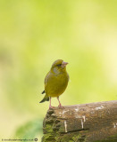 0120 Greenfinch CNP 020613.jpg