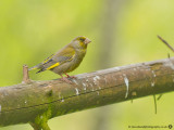 0126 Greenfinch CNP 020613.jpg