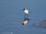0152 Black-headed Gull LL 060613.jpg