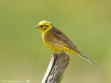 1679 Yellowhammer MH 260713.jpg