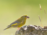 1712 Greenfinch MH 260713.jpg
