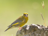 1713 Greenfinch MH 260713.jpg