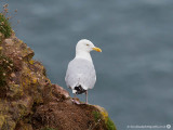 1781 Herring Gull FS 100813.jpg
