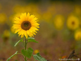 2380 Sunflower 200913.jpg