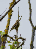 2325 Greenfinch Devon 180913.jpg
