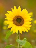 2379 Sunflower 200913.jpg