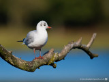 Black-headed Gull LL 041014 1.jpg