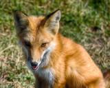 2015 Monarch Bay GC Fox