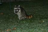 Raccoon (Procyonidae lotor)